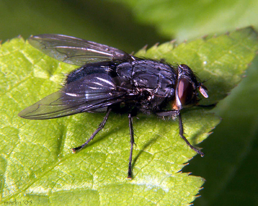 Blow Fly - Calliphora vomitoria