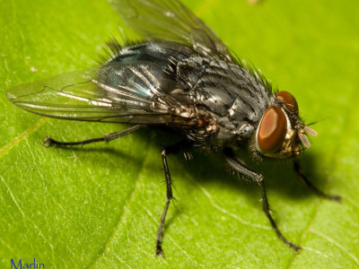 Family Calliphoridae