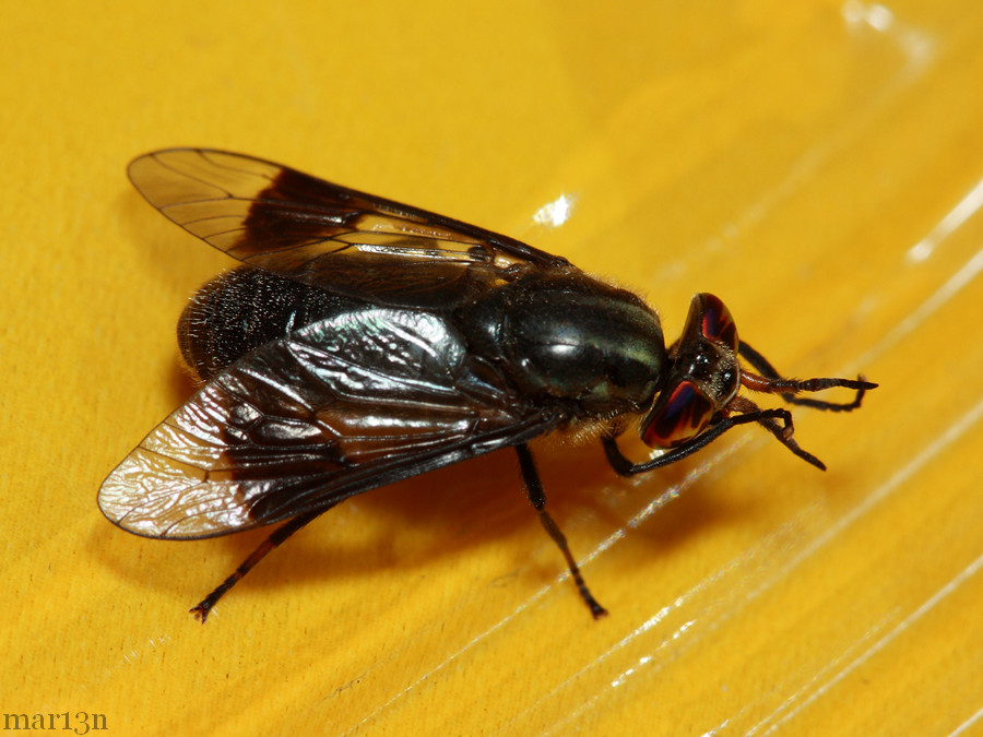Deer Fly - Chrysops calvus