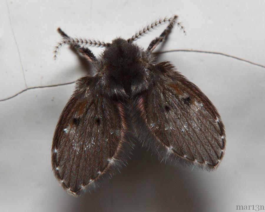 Drain Fly Moth Fly Clogmia Albipunctata North