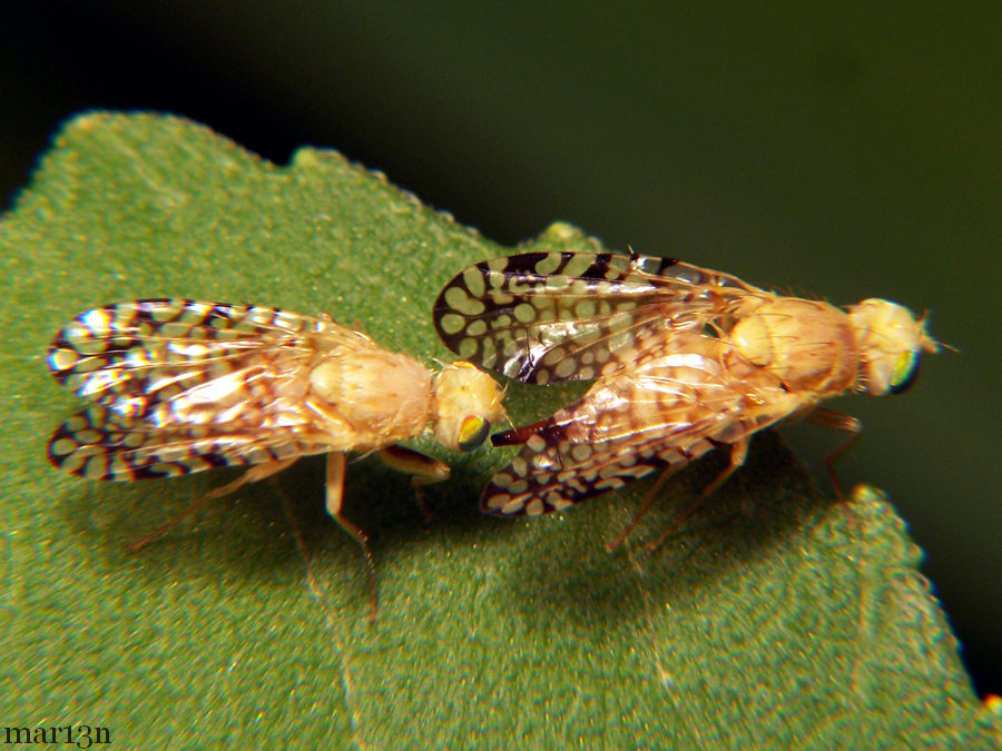 Fruit Fly - Euaresta aequalis