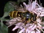 Golden Syrphid Fly