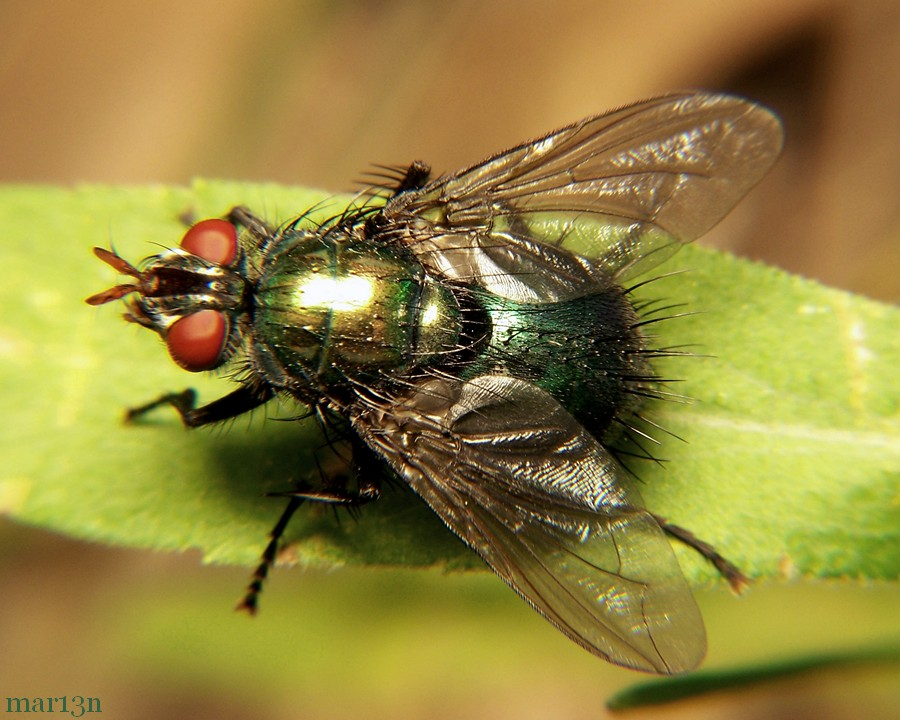 Tachinid Fly - Gymnocheta sp.