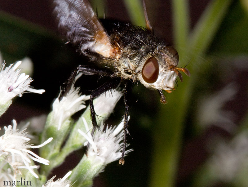 Tachinid fly flying