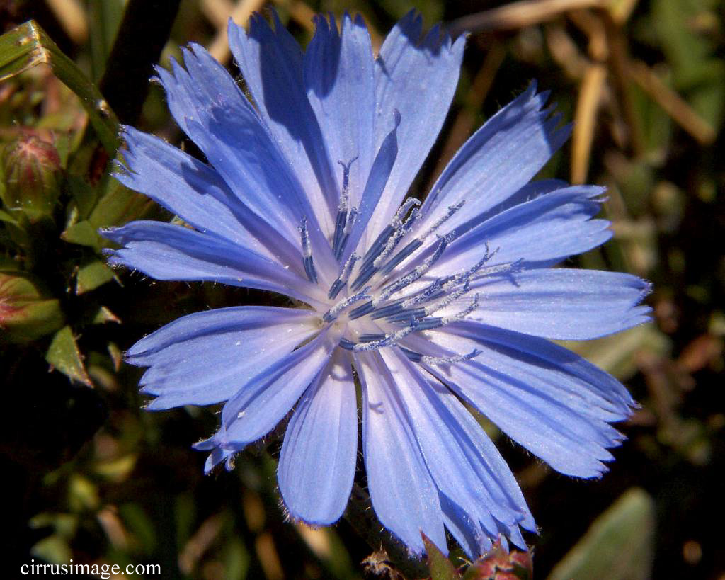 Common Chicory - Cichorium intybus
