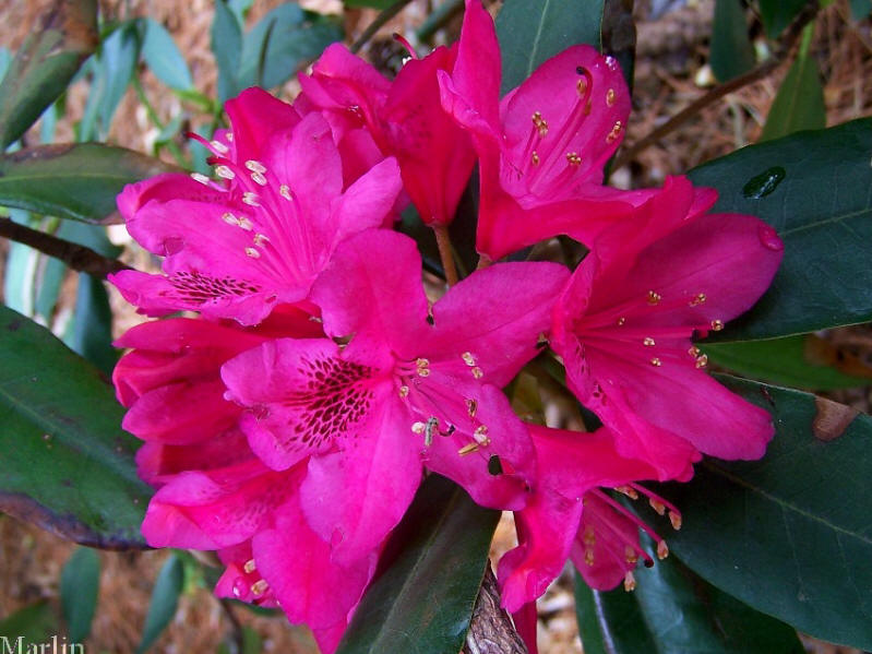 Nova Zembla Rhododendron North American Insects Amp Spiders