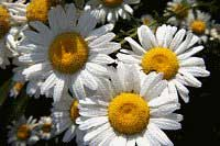 Ox Eye Daisy (invasive)