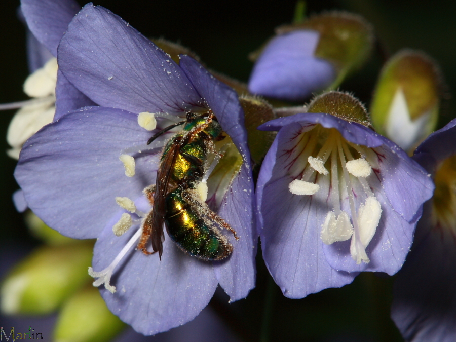 Green Halictid Bee in Blue Flower
