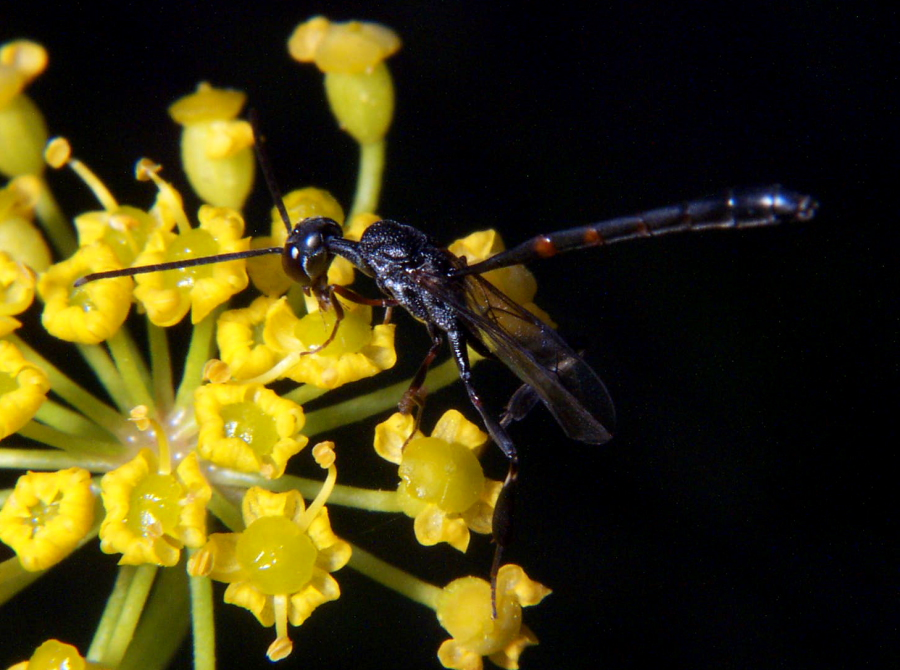 Gasteruptiid Wasp Male