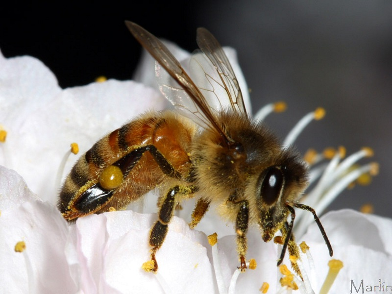 Domestic Honey Bee