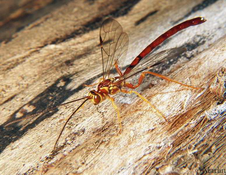 Male Ichneumon Wasp