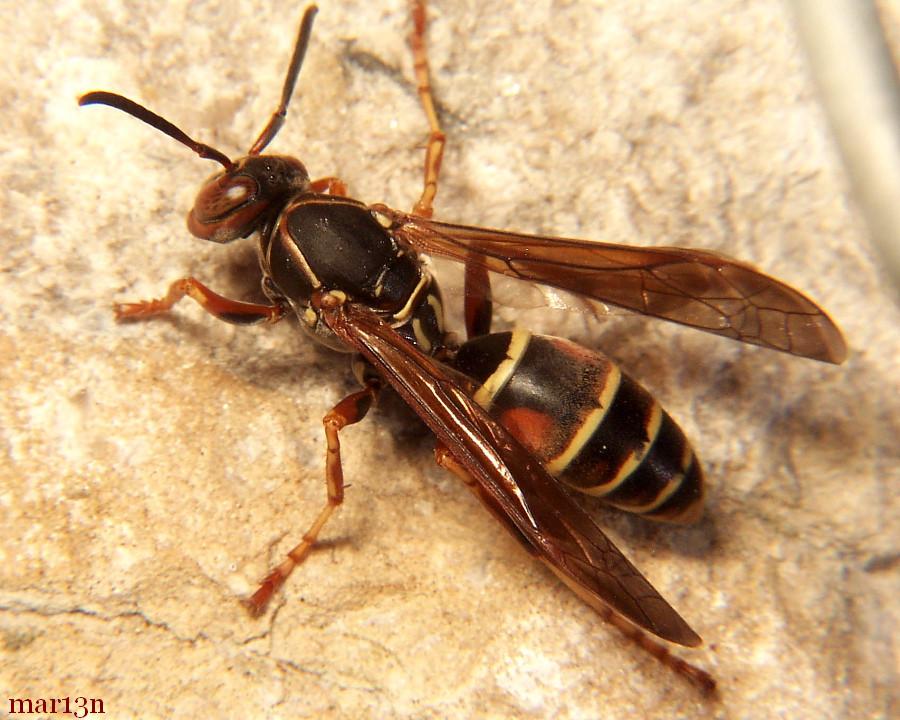 paper wasp polistes fuscatus