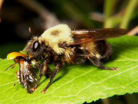 Female Robber Fly, Laphria grossa