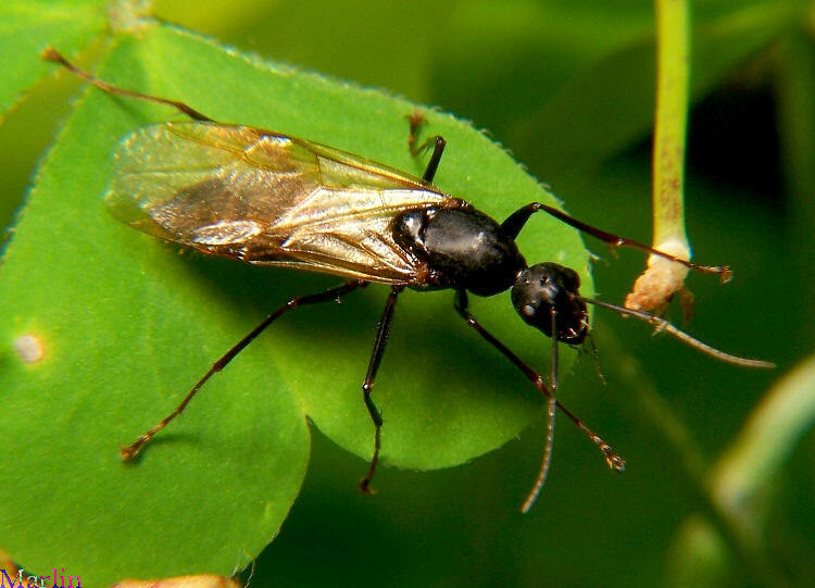 winged male carpenter ant