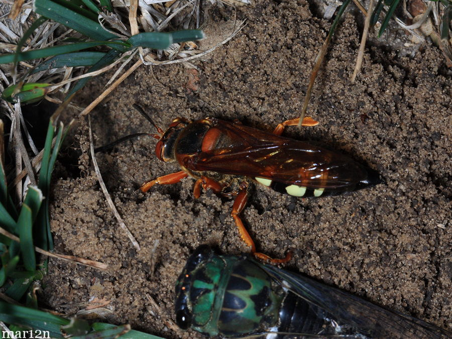 Female cicada killer at burrow entrance with paralyzed cicada