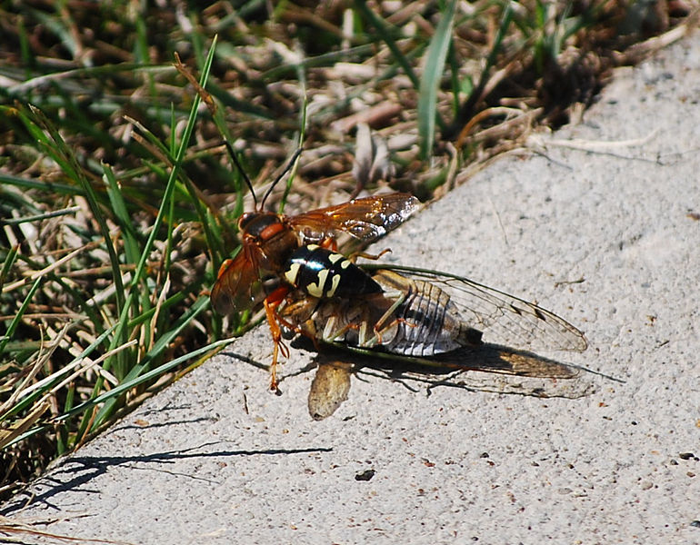Female on the way to her burrow carrying paralyzed cicada