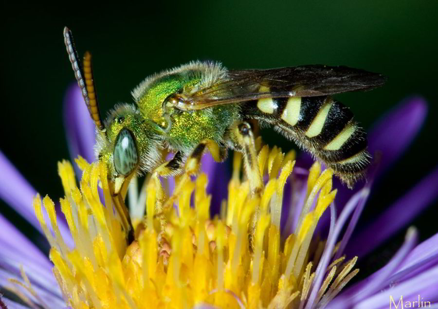 Halictid Bee - Agapostemon splendens