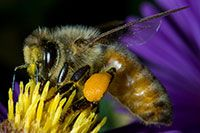 Honey Bee nectaring on New England Aster Flower