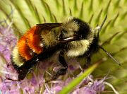 Tricolored Bumble Bee - Bombus ternarius