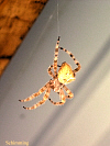 Cat-Faced Spider - Araneus gemmoides