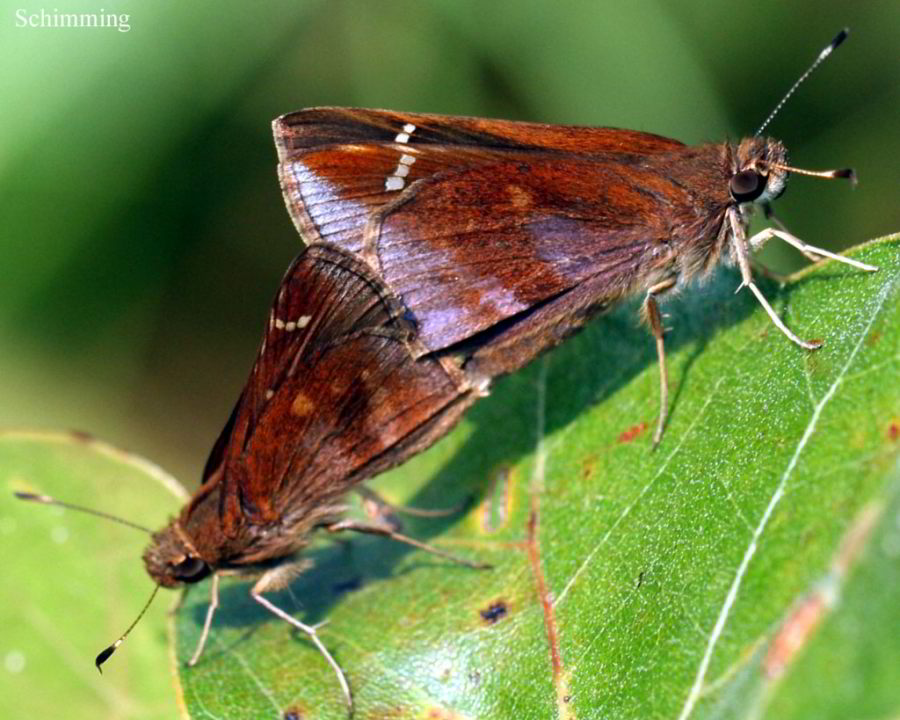 Clouded Skipper Butterfly - Lerema accius