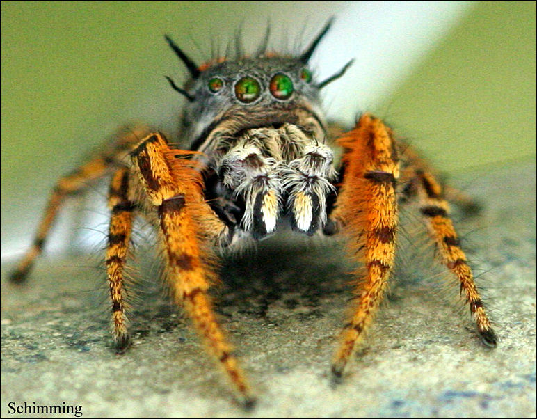 Moustache Jumping spider