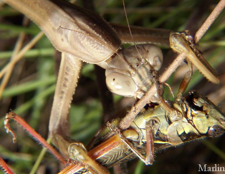 Praying Mantis Attacks Grasshopper