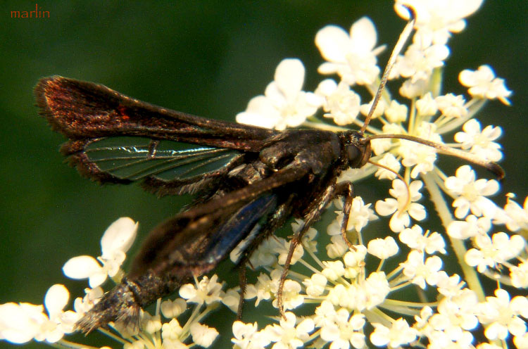 Virginia Creeper Clearwing Moth