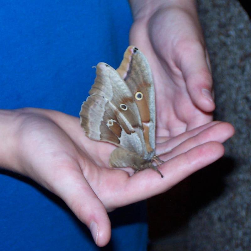 Polyphemus Moth - Antheraea polyphemus - North American ...