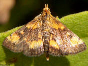 Orange-spotted Pyrausta Moth