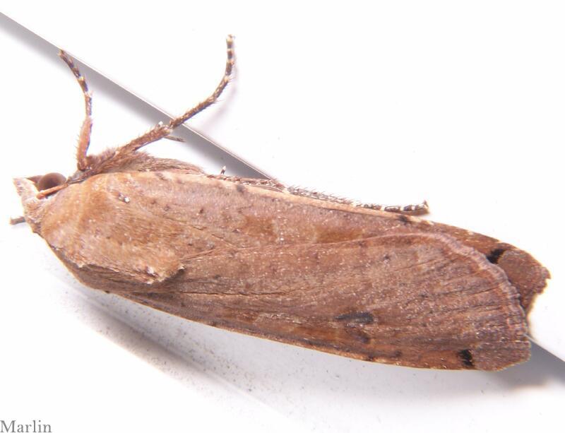 Large Yellow Underwing Moth - Noctua pronuba