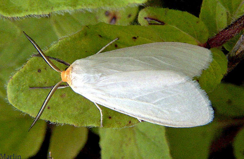 Oregon Cycnia Moth