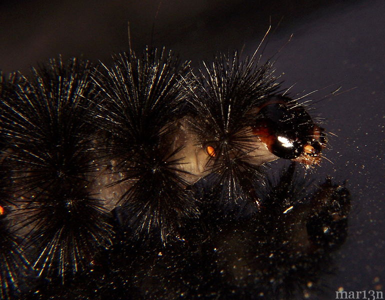 Banded Woolly Bear Caterpillar