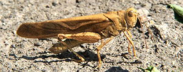 Carolina Grasshopper commonly called Carolina Locust