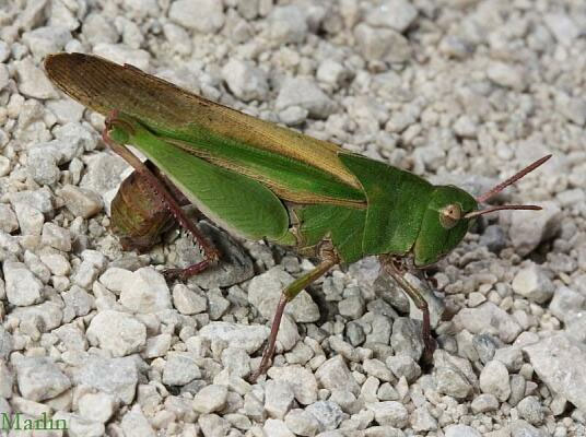 Grasshopper Vs Locust