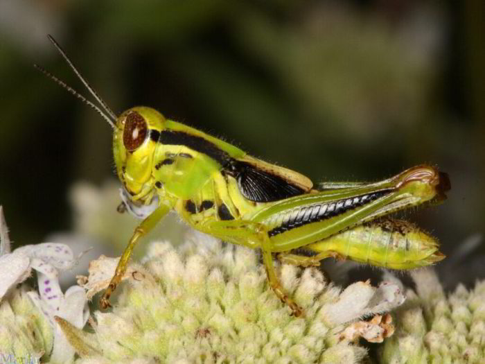 Fifth instar female nymph, Two-Striped Grasshopper - Melanoplus bivittatus