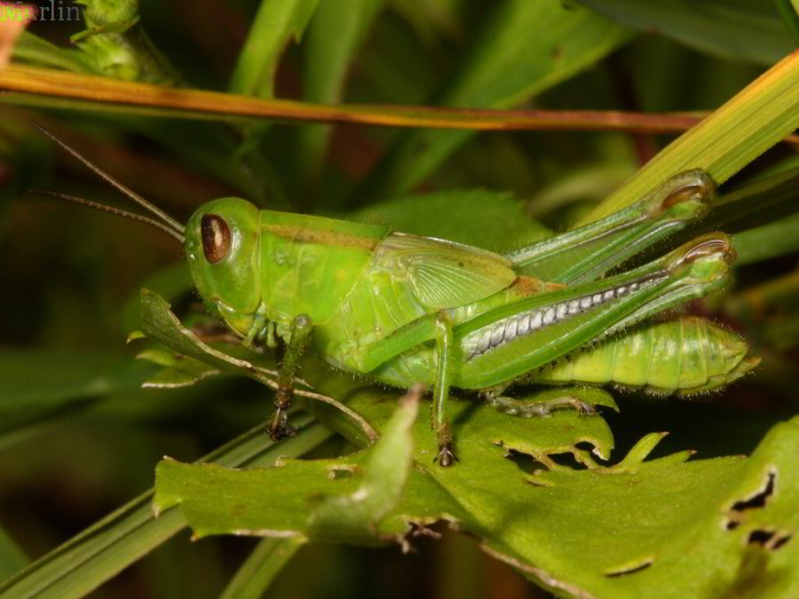 Two-Striped Grasshopper - Melanoplus bivittatus