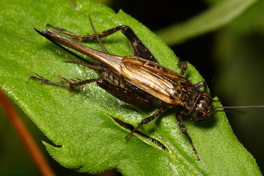 long-winged female Striped Ground Cricket