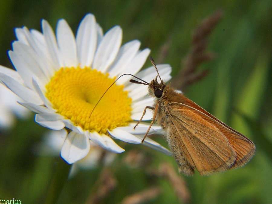 Least Skipper takes nectar at ox-eye daisy