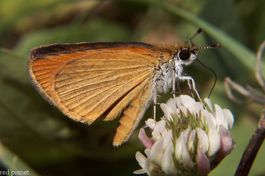 Least Skipper Butterfly takes nectar at clover flower
