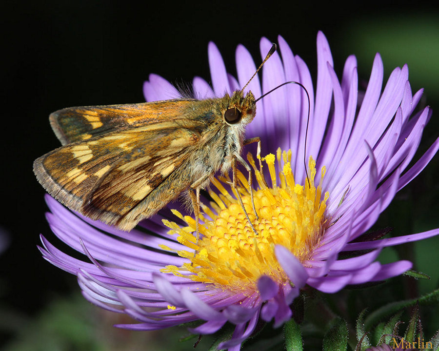 Peck's Skipper Butterfly - Polites peckius