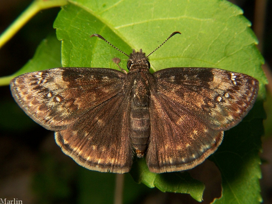 Wild Indigo Duskywing butterfly   To the naked, untrained