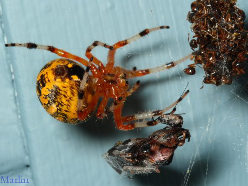 Marbled Orb Weaver Spider with Queen Ants Prey