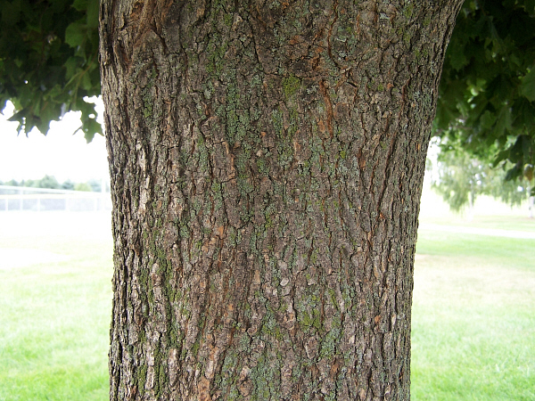 Crimson Maple Tree Bark