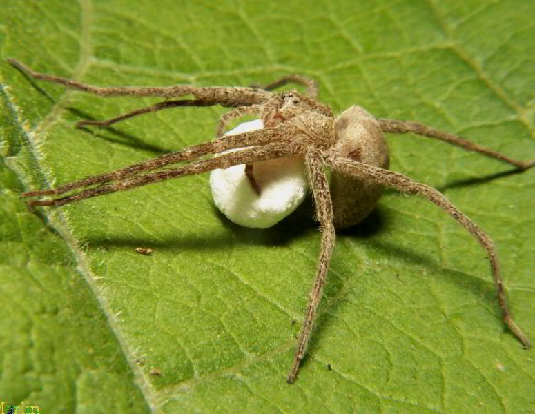 nursery web spider carries her egg-sac