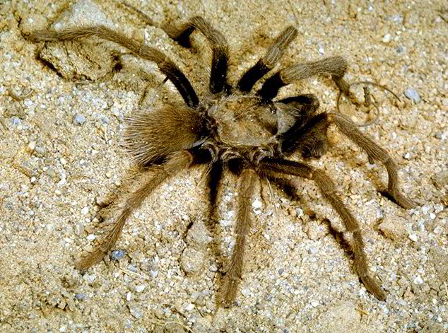 Common Tarantula