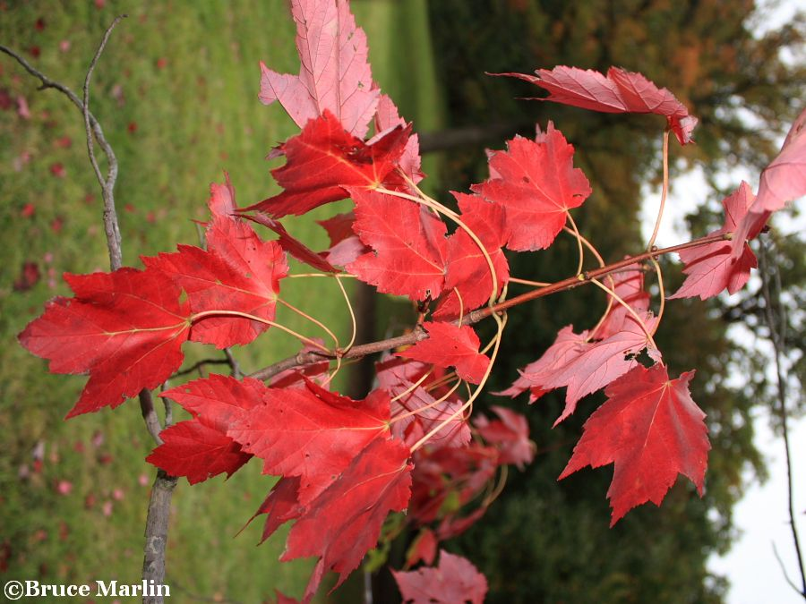 Schlesinger Red Maple fall foliage