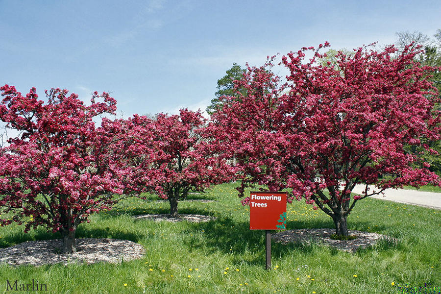 Adams Crabapple Trees