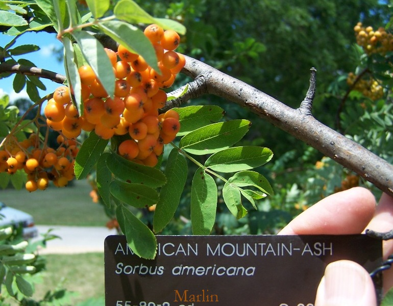 American Mountain-Ash fruit & foliage