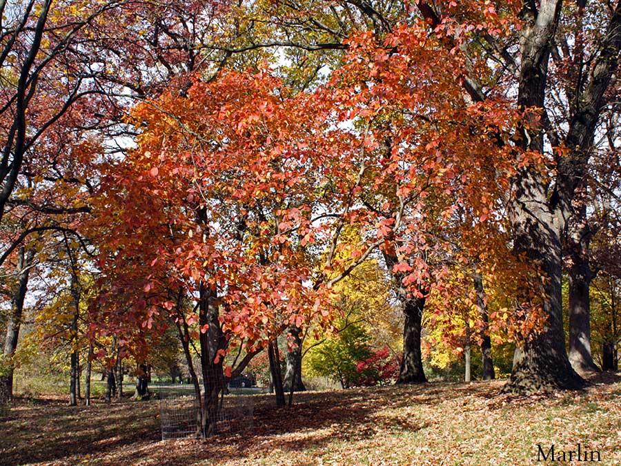 American Smoke Tree Cotinus Obovatus North American